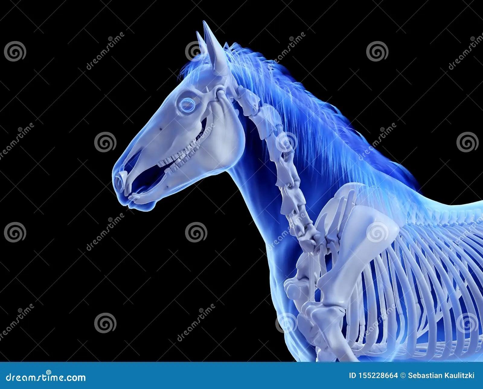 The Equine Skeletal System Stock Illustration