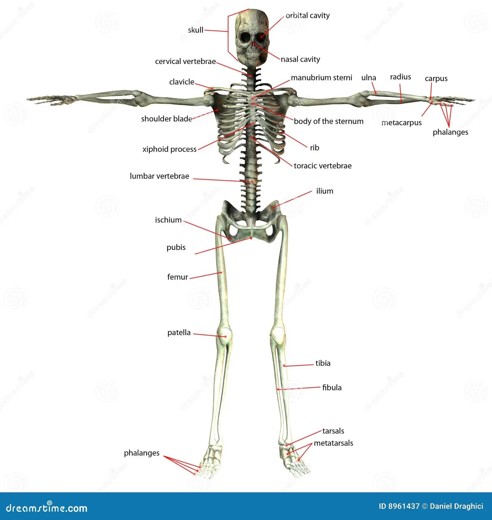 Esqueleto Com Nomes Do Osso Ilustracao Stock