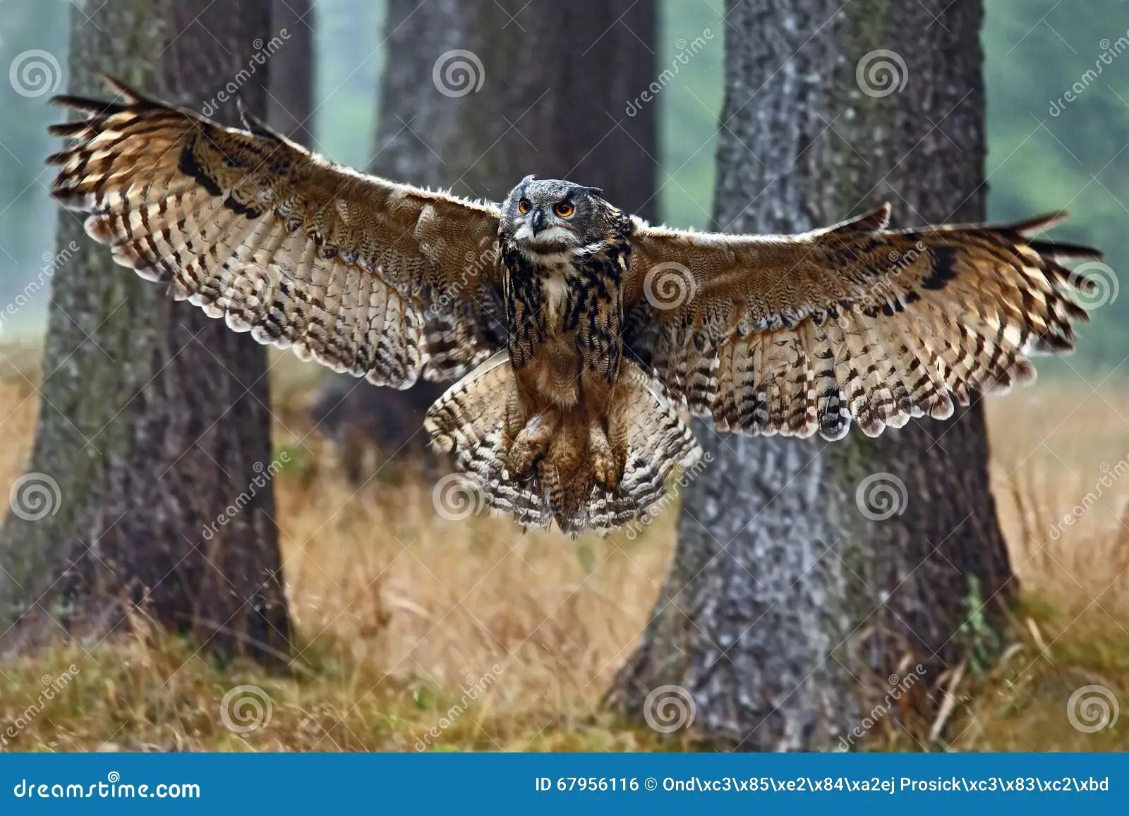 Eurasiatico Eagle Owl Del Vuelo Con Las Alas Abiertas En