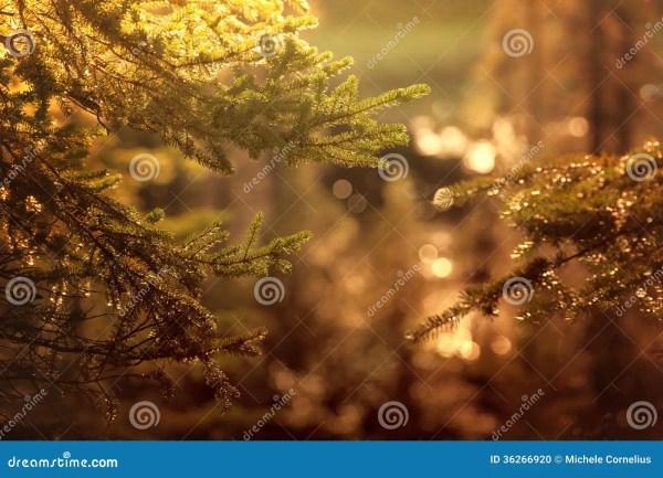 Evergreen Glow Stock Photo - Image: 36266920