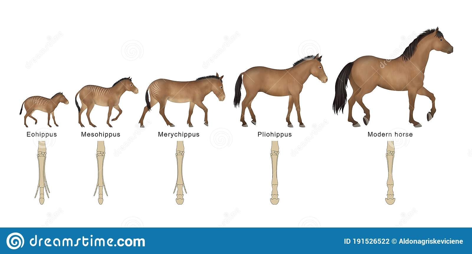 Evolution Of The Horse Stock Illustration Illustration Of