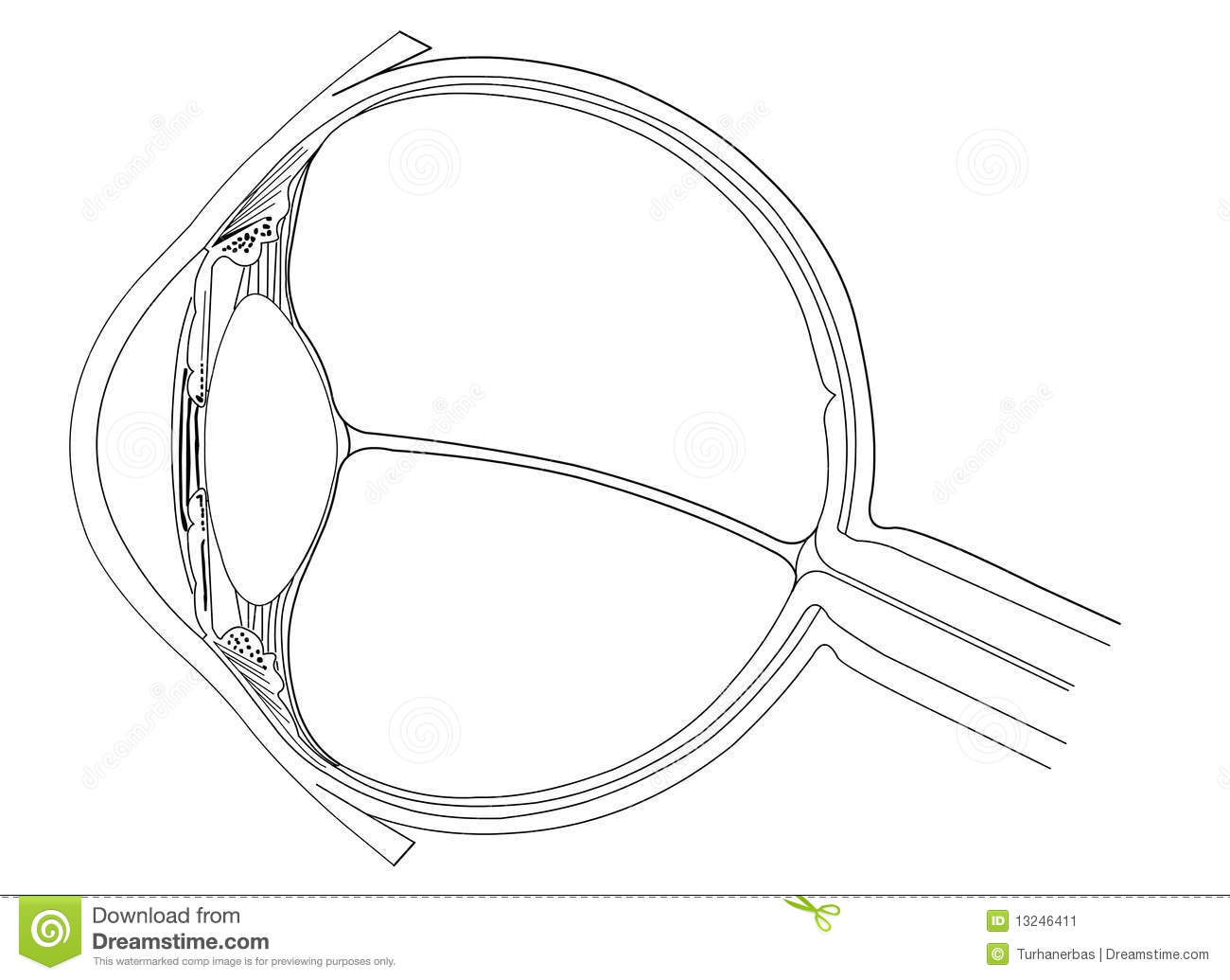 Eye Anatomy Stock Vector Illustration Of Circle Nerve