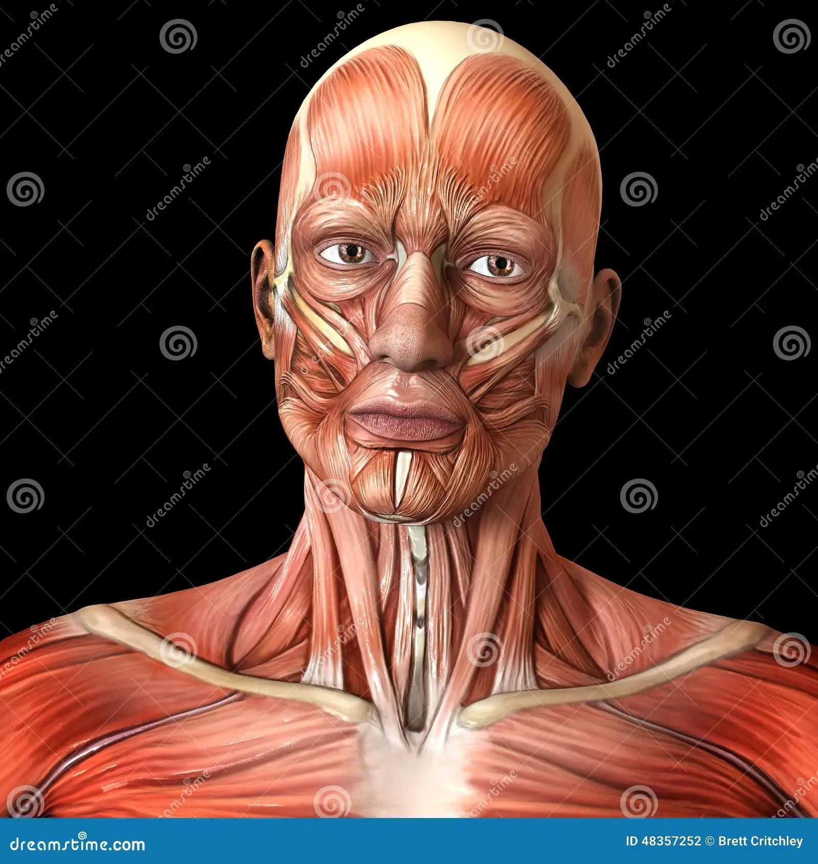 Face Facial Muscles
