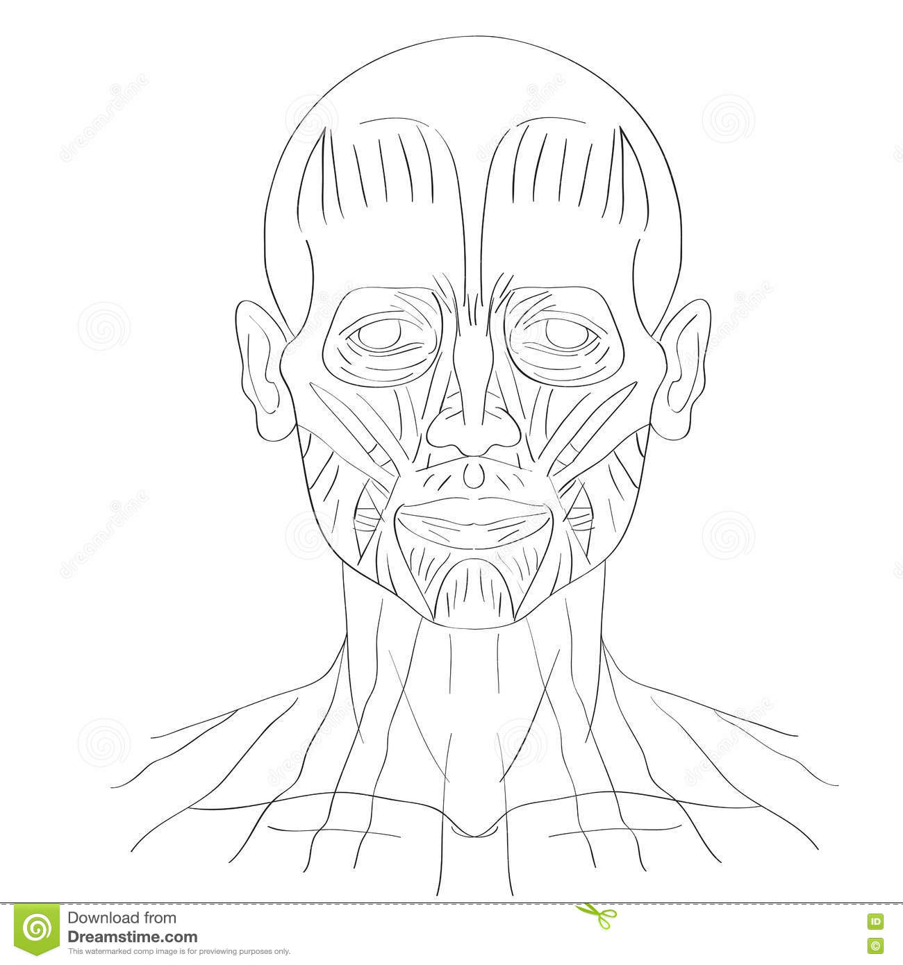 Face Muscle Stock Vector Illustration Of Anatomy Mouth