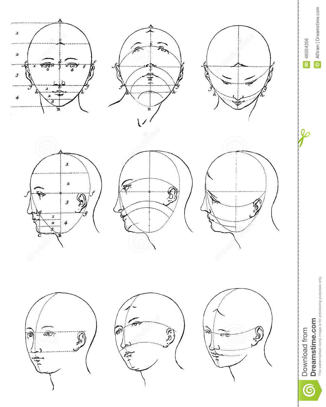 Face Proportions Stock Vector Illustration Of Head White