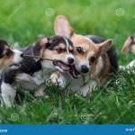 Familia De Perro Del Corgi Gales Que Juega En Parque En Hierba Verde Pembroke Corgi Puppy Having Fun Al Aire Libre Foto De Archivo Imagen De Corgi Having 84758432