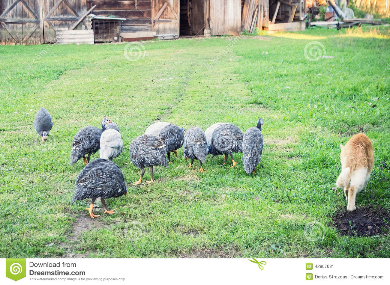 Farm Birds Stock Illustration