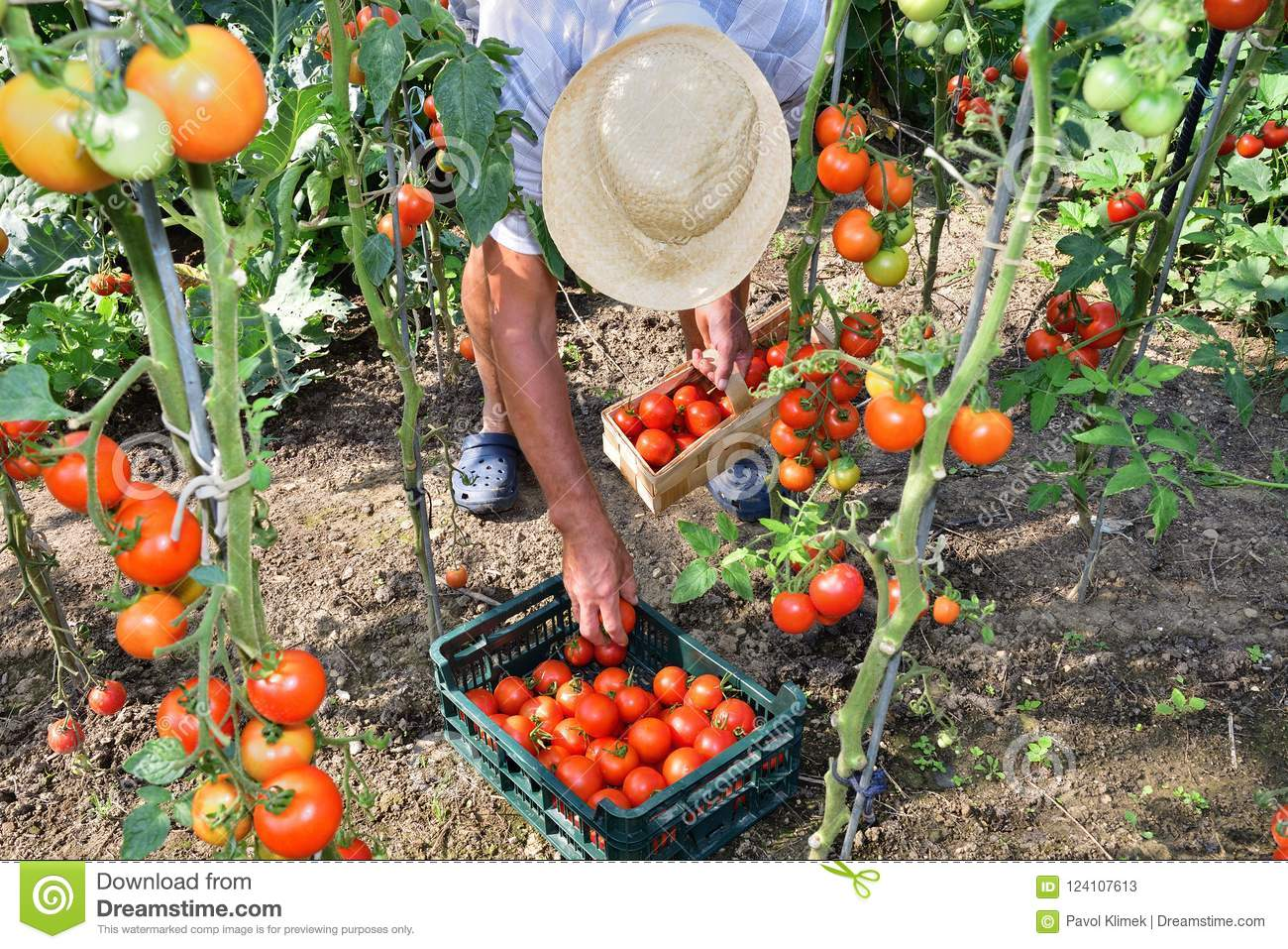 Grower To Pick Tomato Crops Stock Image Image Of Agriculture Ingredient 124107613