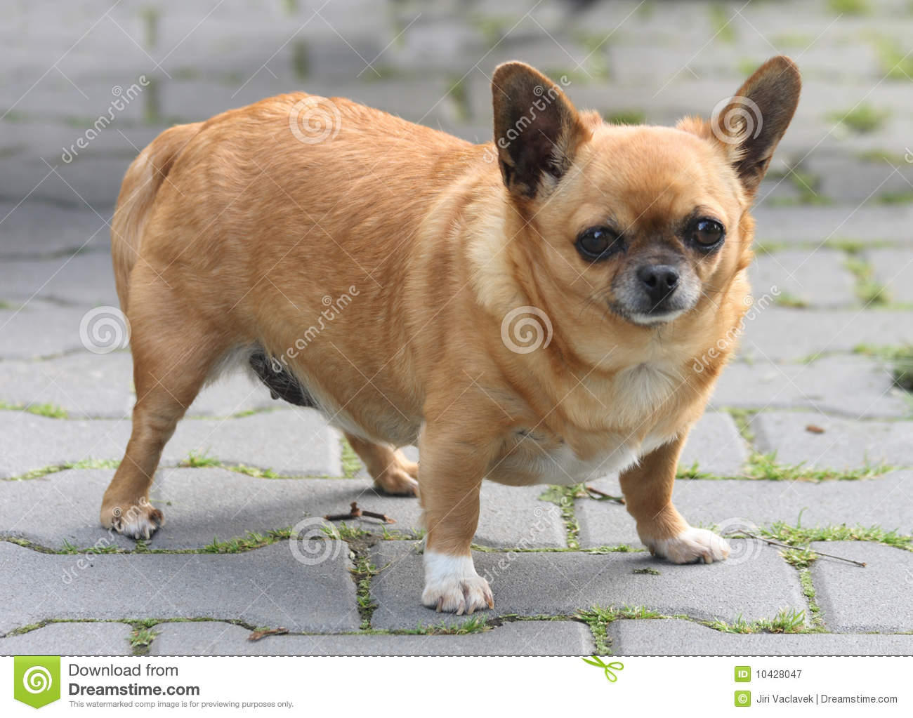 Fat Chihuahua Stock Image Image Of Outdoor Cute