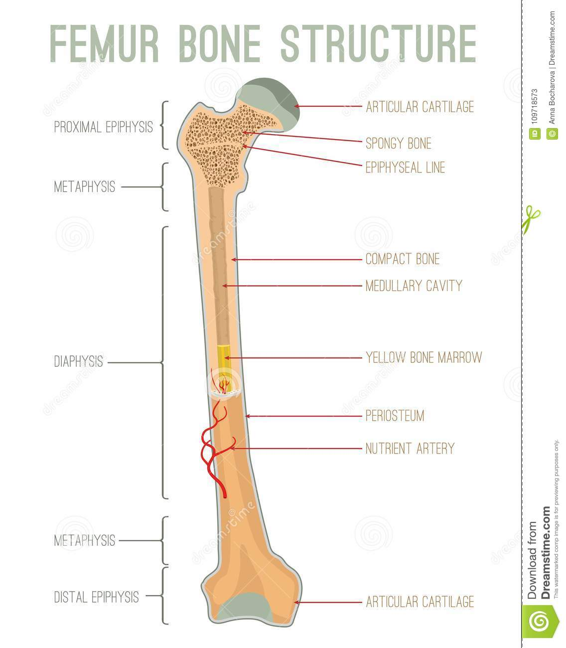 Femur Bone Structure Stock Vector Illustration Of Health