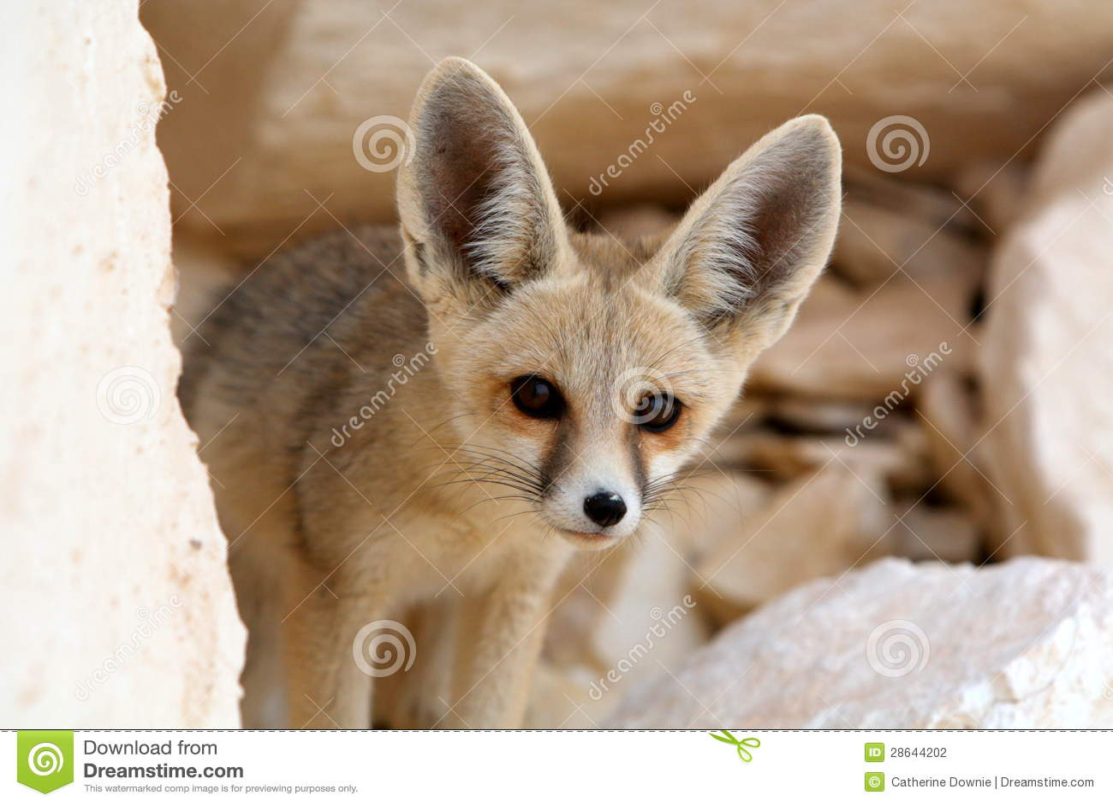 A Fennec Fox In The White Desert Egypt Stock Photo