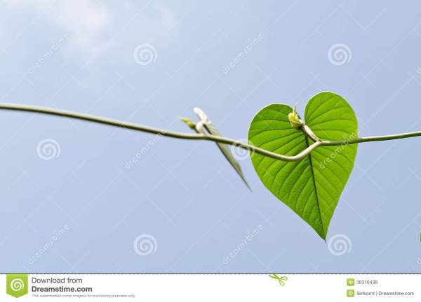 Coeur Vert De Feuille Images libres de droits - Image ...