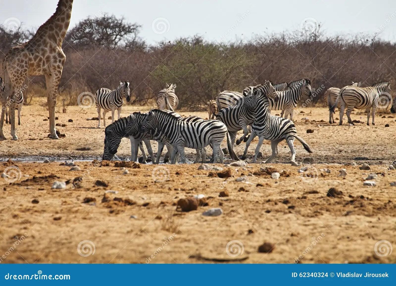 Fighting Males Damara Zebras And Giraffes At The Waterhole