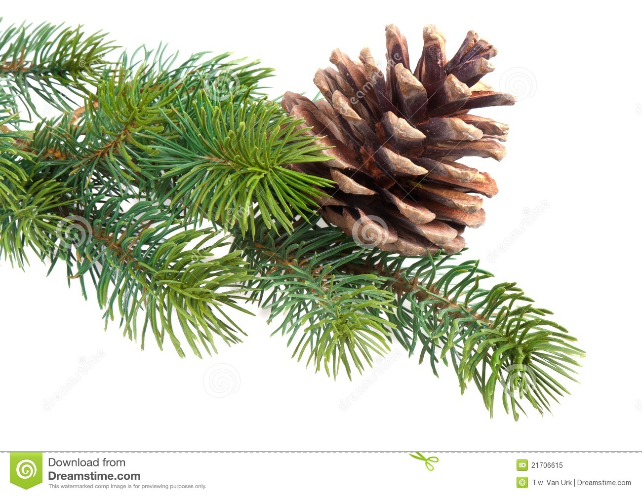 Fir Branch With Pine Cone Stock Image Image Of Frame