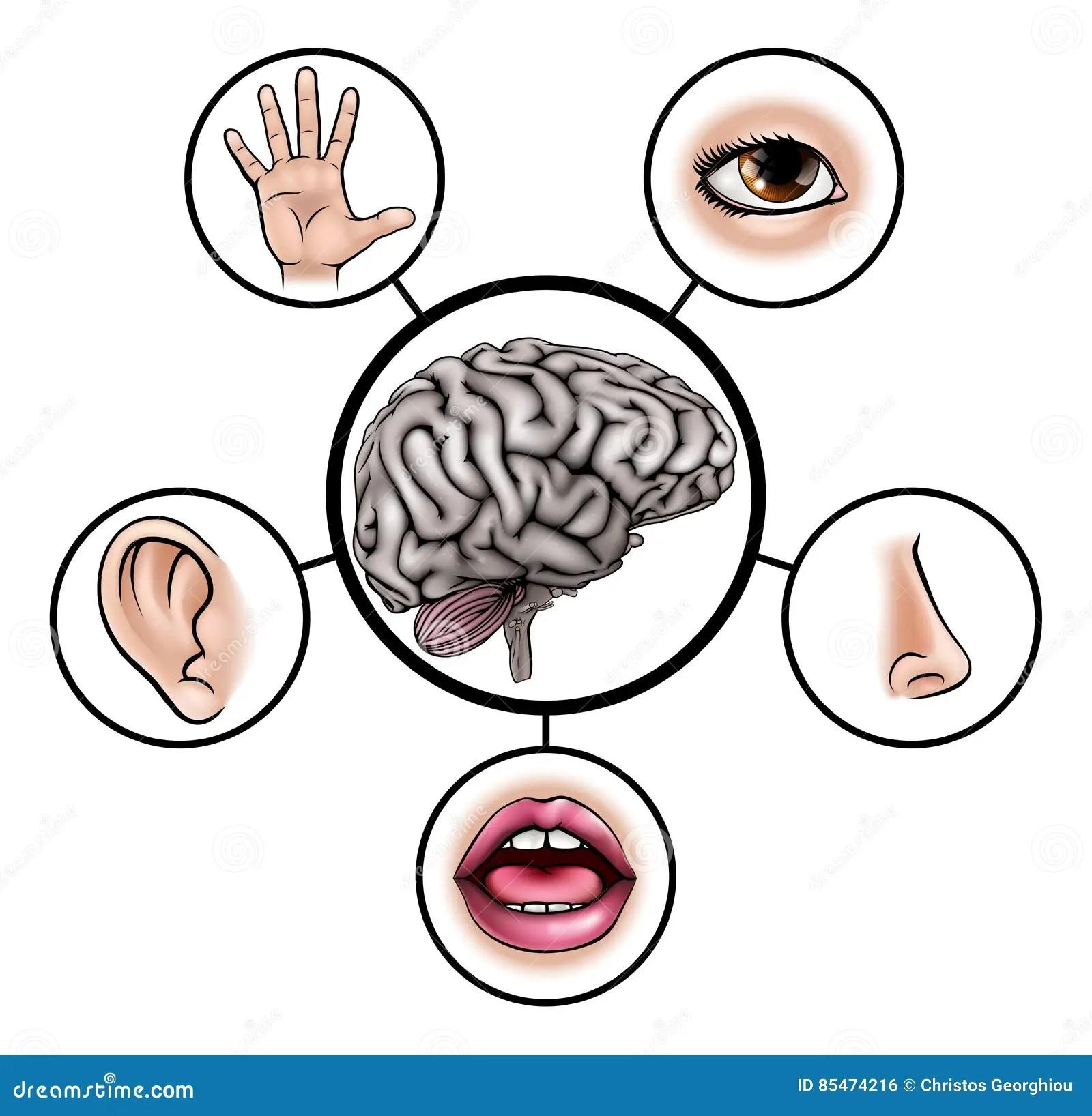 Five Senses Brain Stock Vector Illustration Of Clip