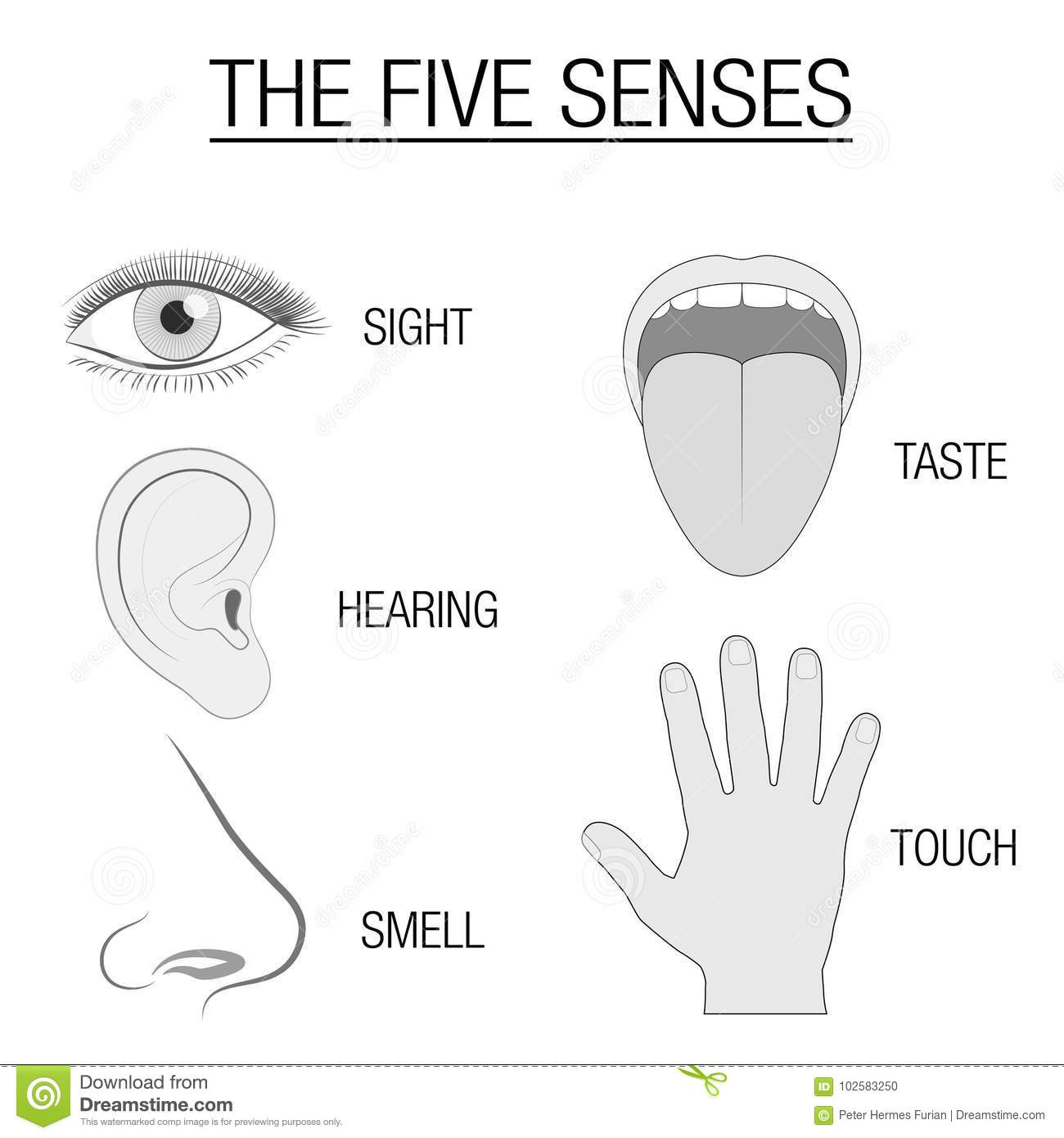 Five Senses Sensory Organs Chart Stock Vector