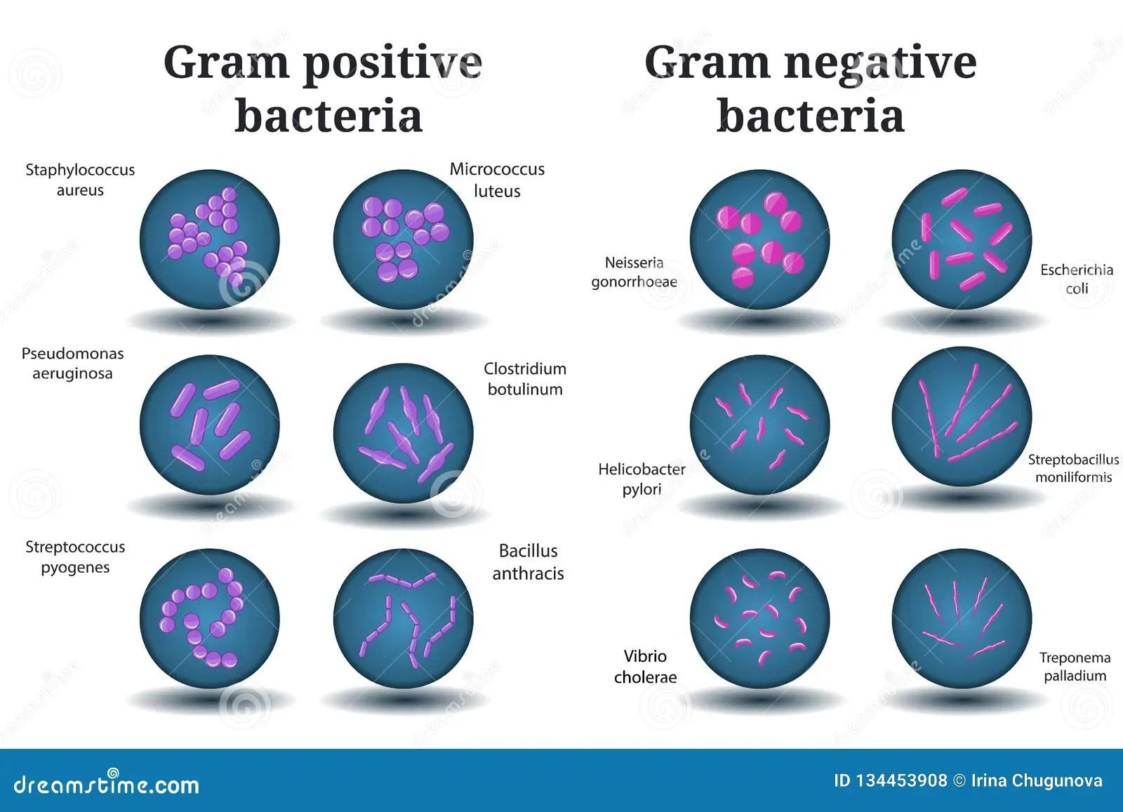 Gram Positive And Gram Negative Bacteria Coccus Bacillus