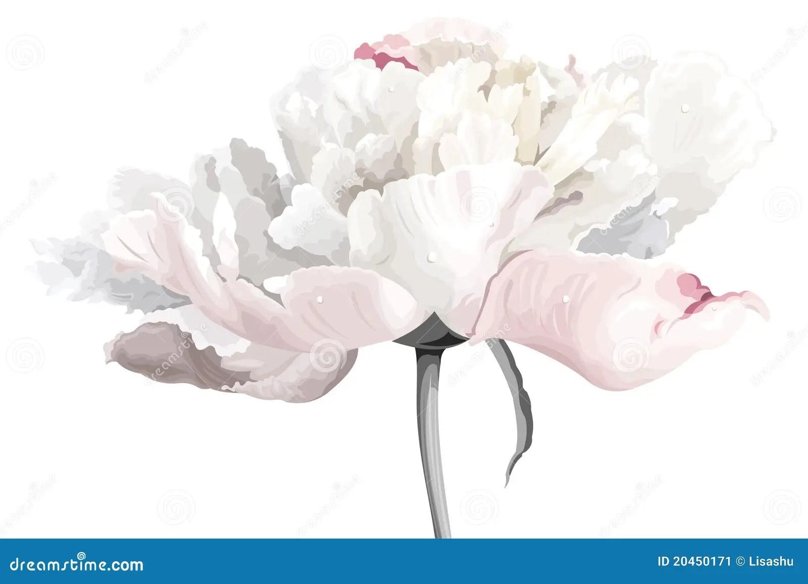 Fleur Blanche De Pivoine Illustration De Vecteur