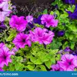 Flower Bed With Purple Petunias Close Up Petunia Flowers Bloom Petunia Blossom Stock Image Image Of Floral Fresh 154157757