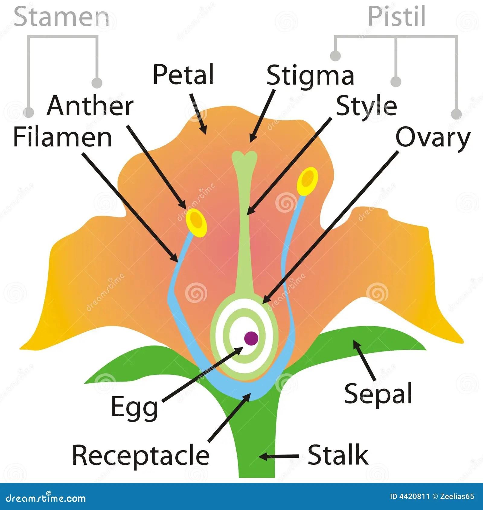 Flower Parts Stock Vector Illustration Of Stigma Sepal
