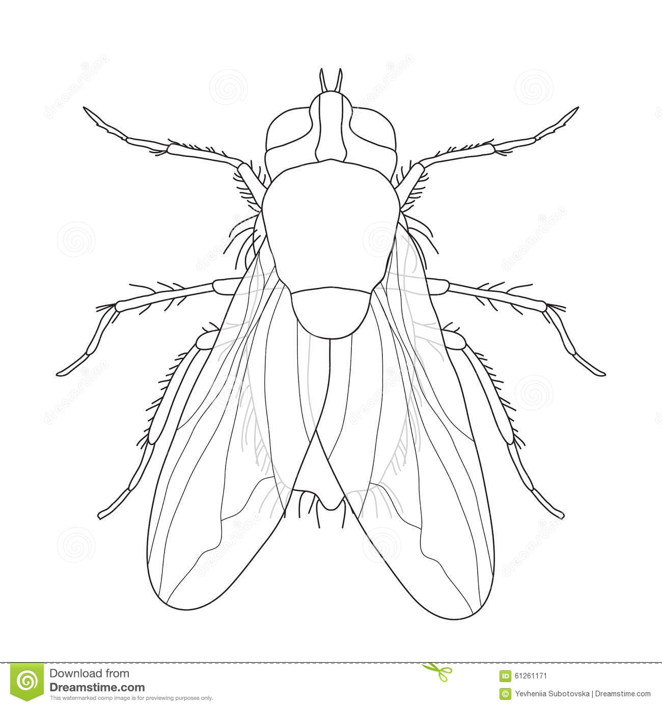 Fly Musca Domestica Insect A Realistic Fly Stock Vector