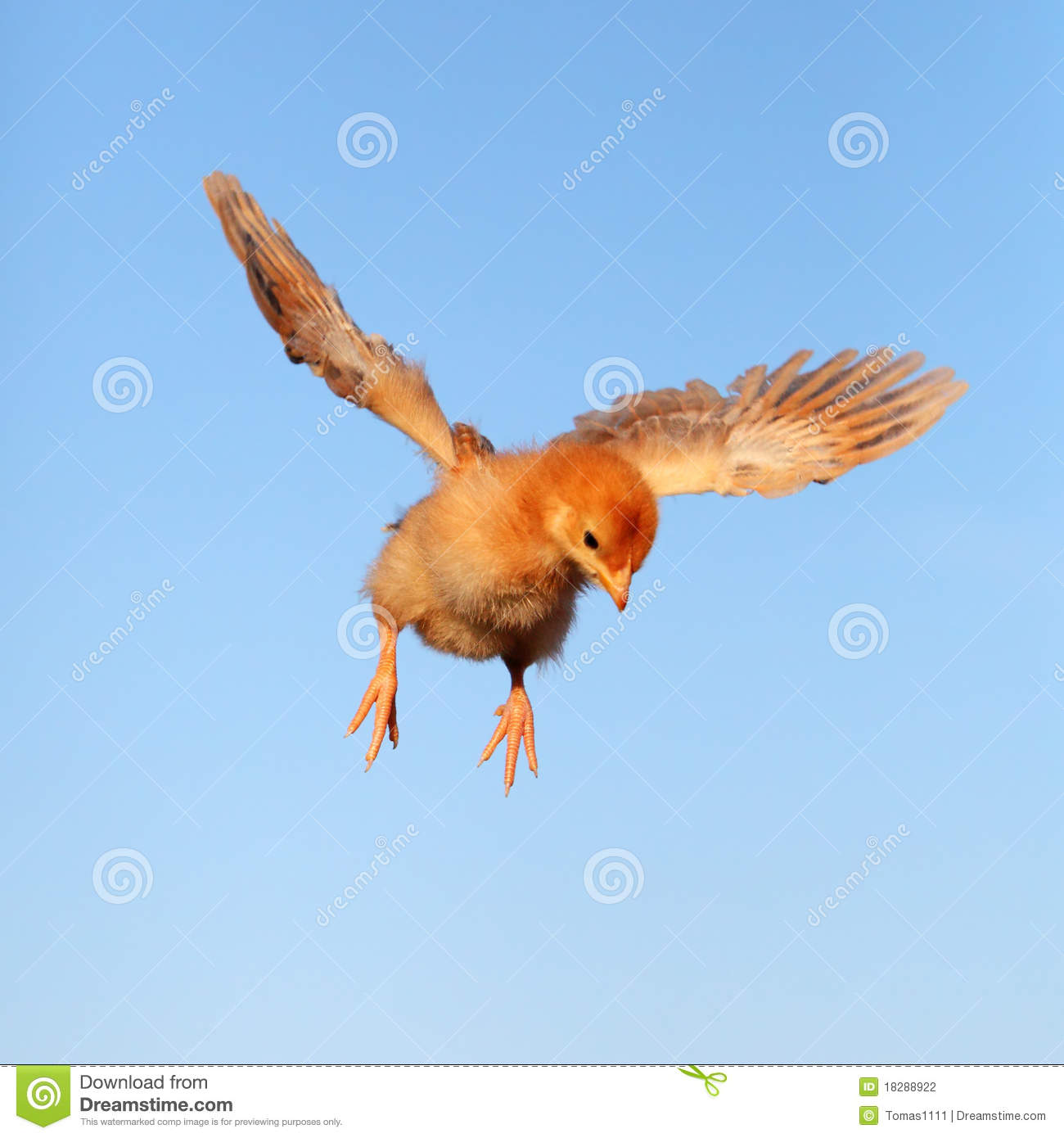 Flying Chicken Stock Photography Image 18288922