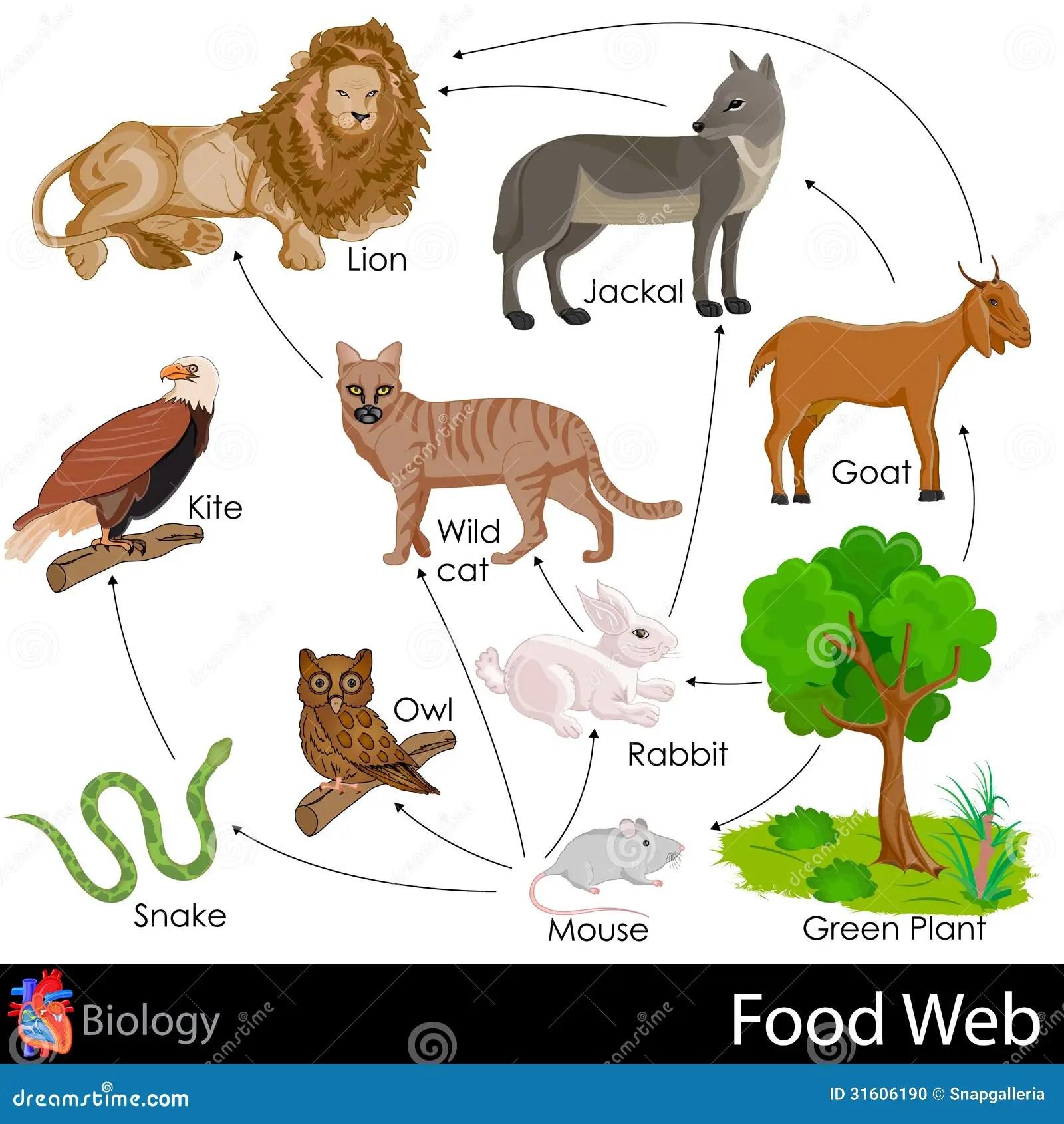 Food Web Stock Illustration Image Of Carnivore