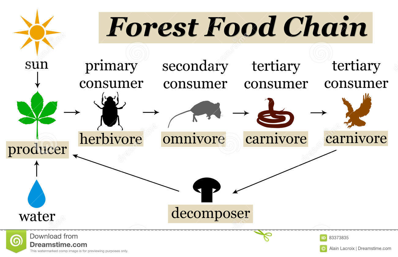 Forest Food Chain Stock Illustration Illustration Of