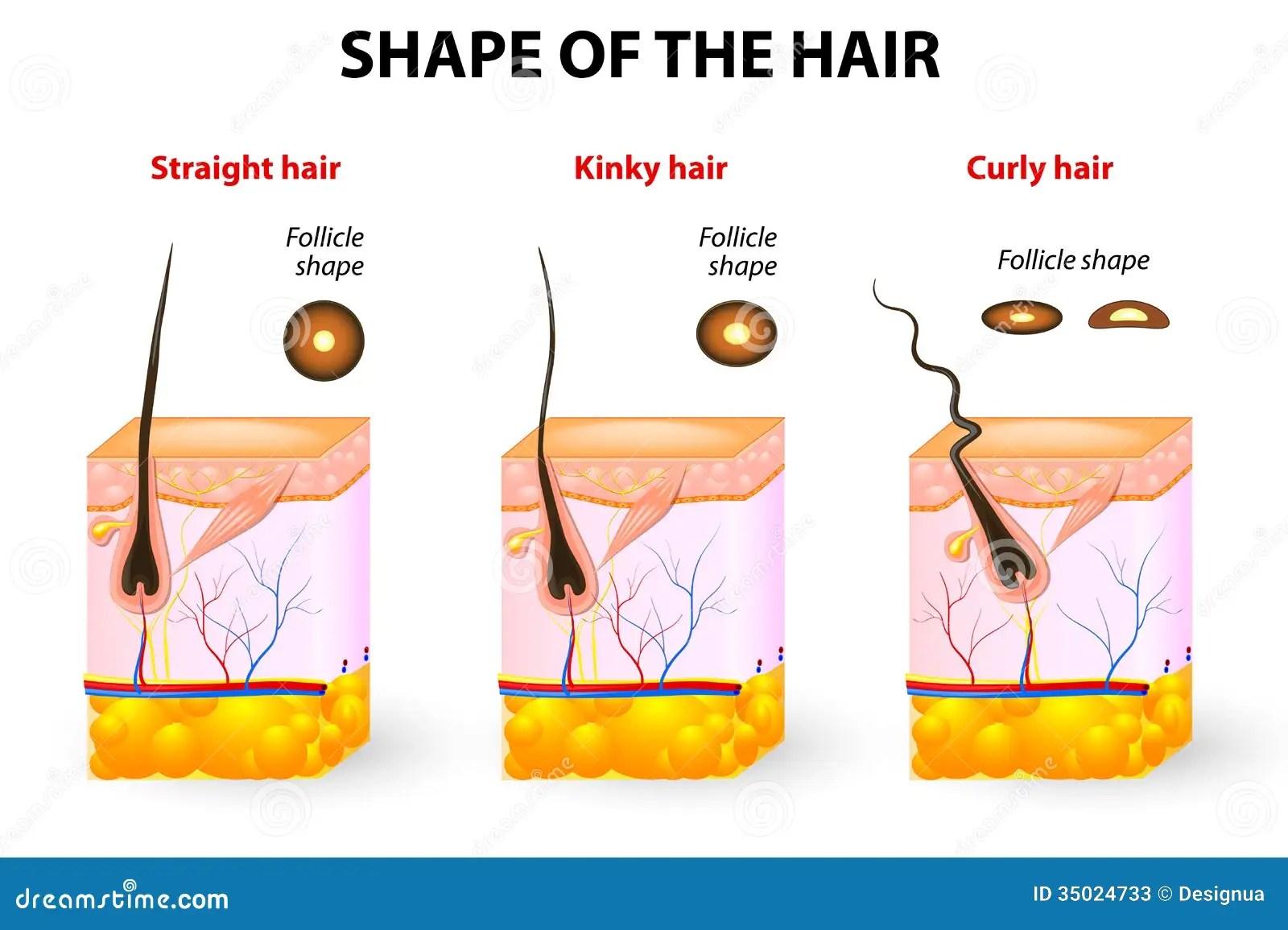 Forme Des Cheveux Et De L Anatomie De Cheveux Illustration De Vecteur