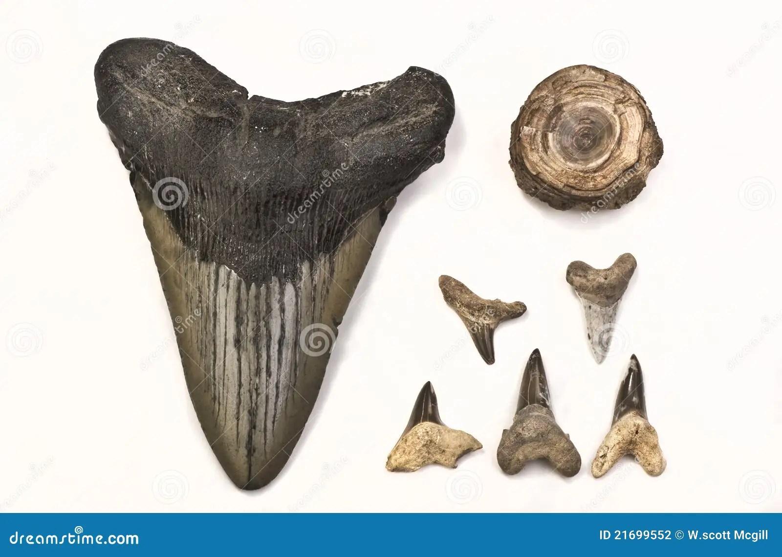 Fossili Dei Denti Dello Squalo Fotografia Stock