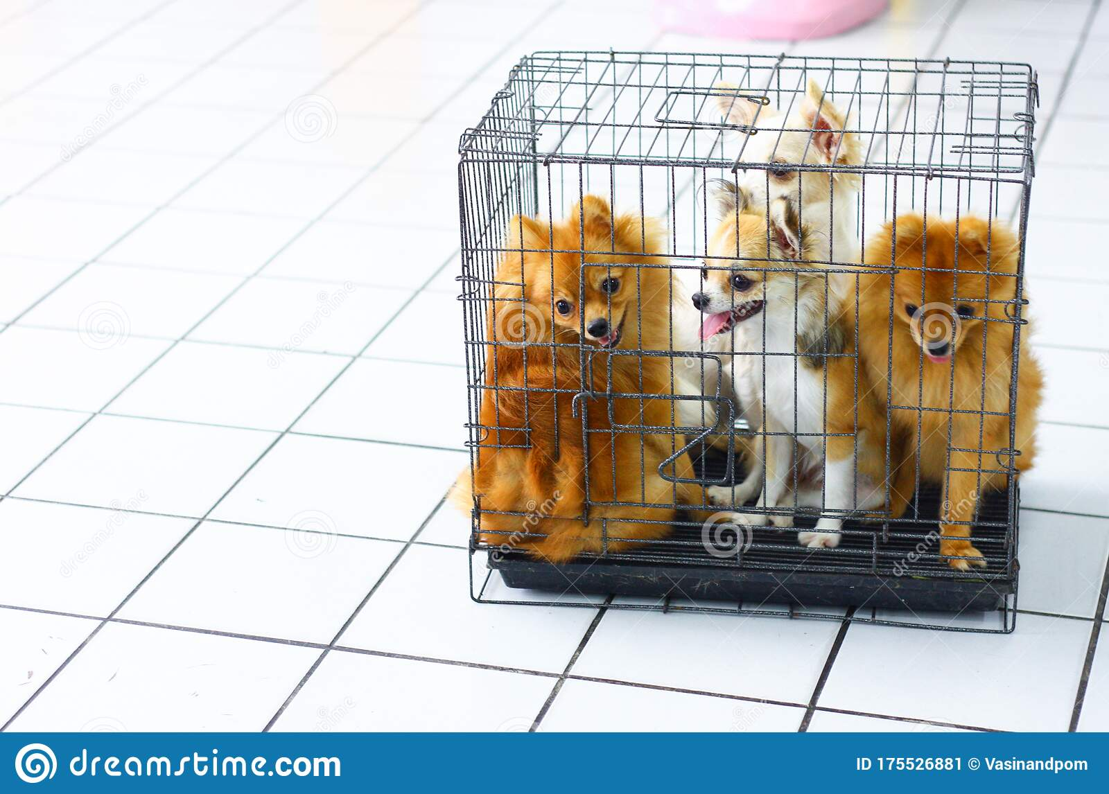 miniature dogs in cage on tile floor at vet stock image image of beautiful sale 175526881