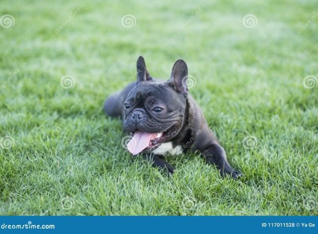 french bulldog stock photo. image of pets, sunshine - 117011528