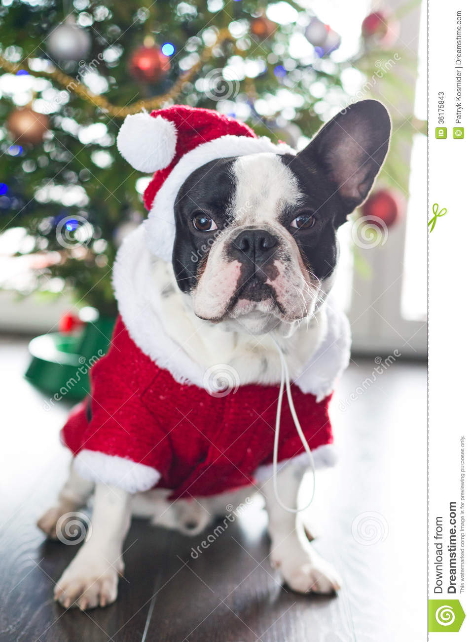 French Bulldog In Santa Costume For Christmas Stock Image