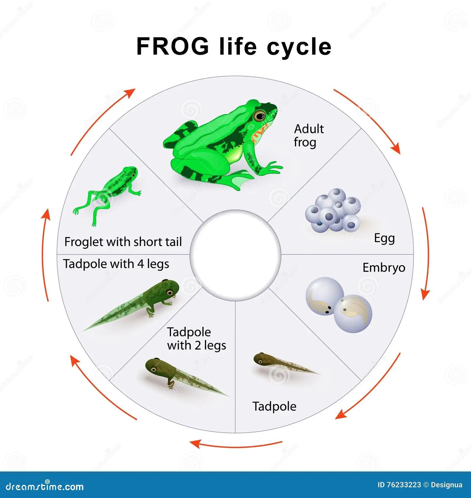 Frog Life Cycle Amphibian Metamorphosis Stock Vector