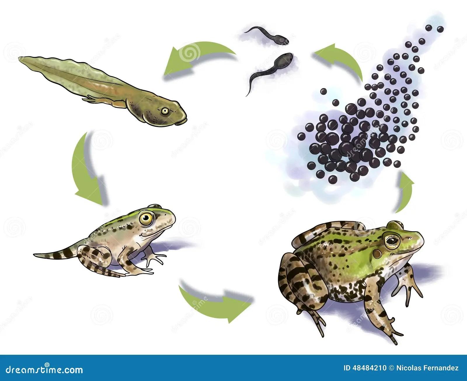 Frog Life Cycle Stock Illustration Image Of Frog