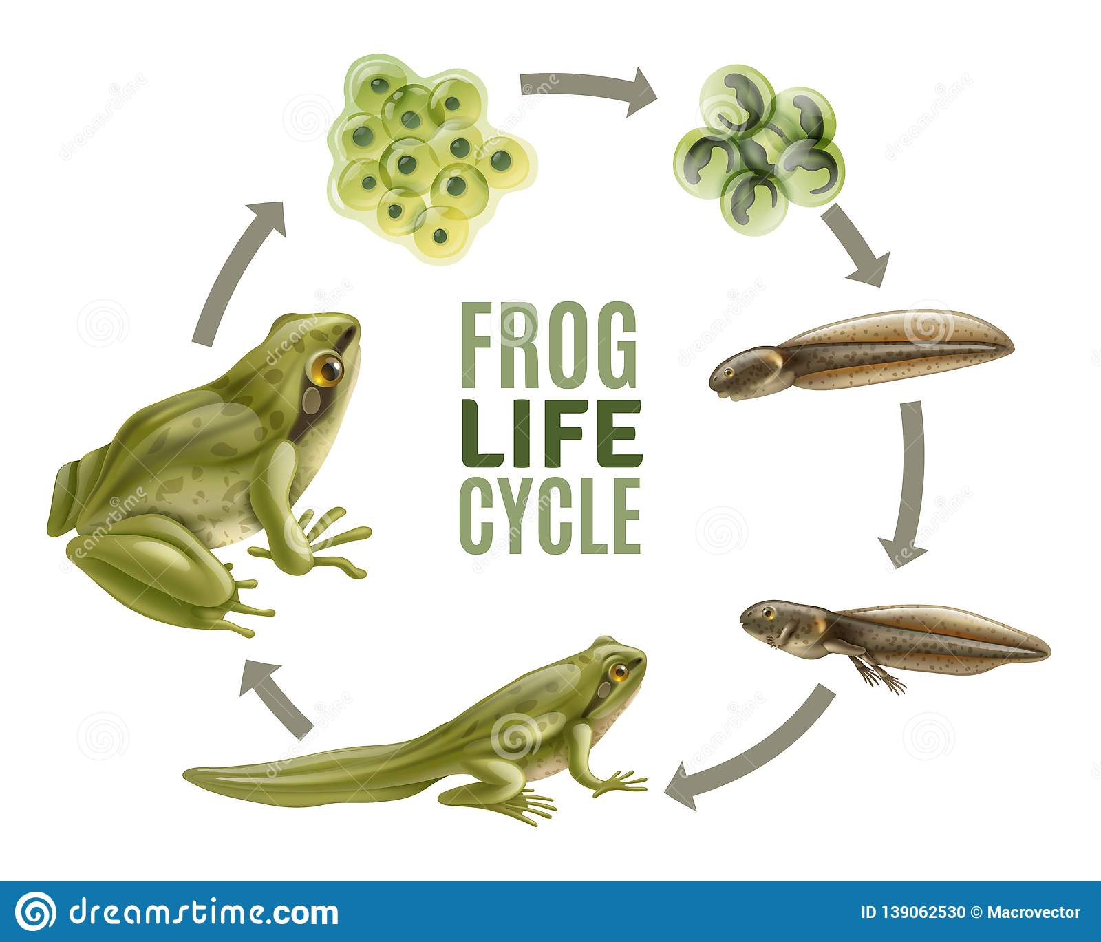 Frog Life Cycle Set Stock Vector Illustration Of Biology