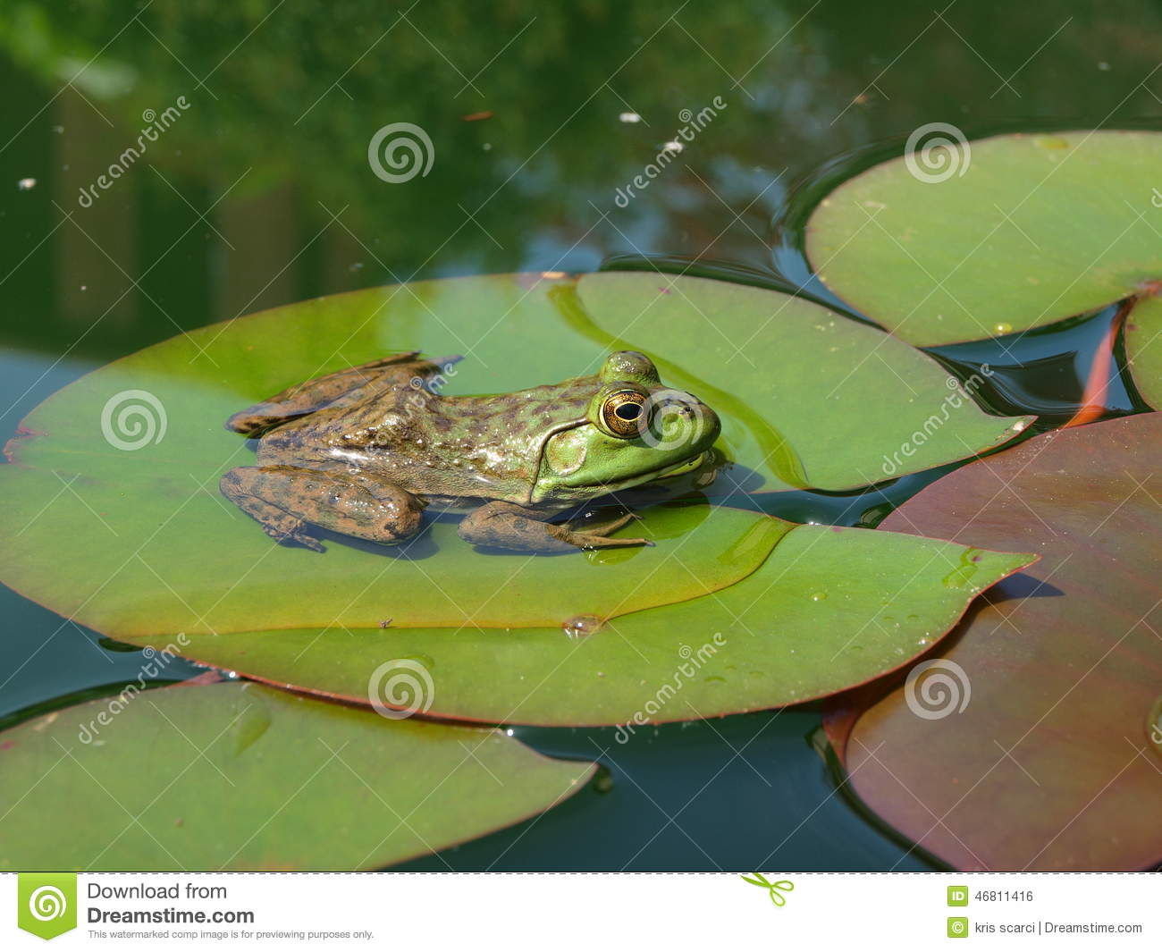 Frog On Lily Pad Stock Photo Image Of Water Pond
