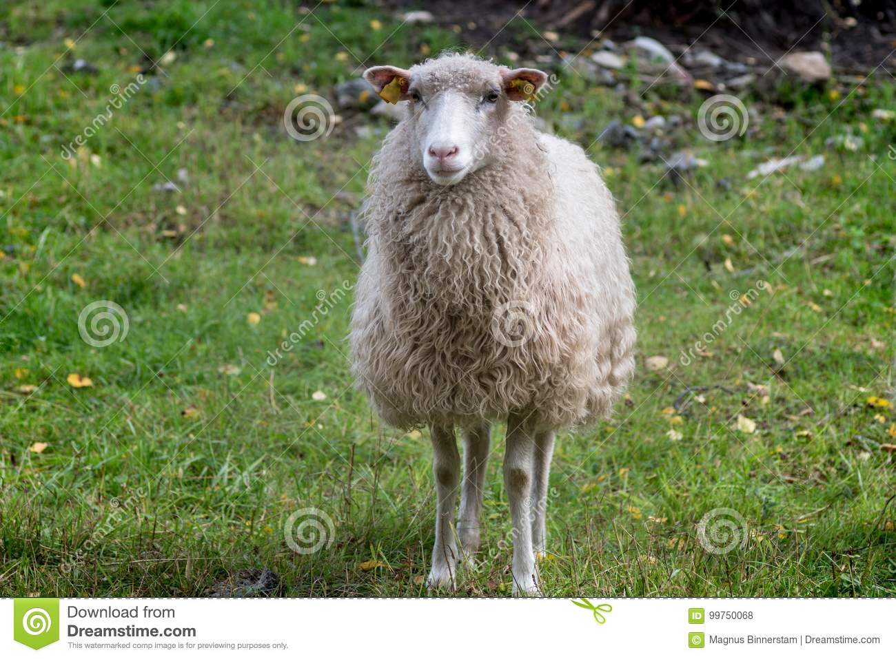 Front View Of A White Sheep Stock Photo
