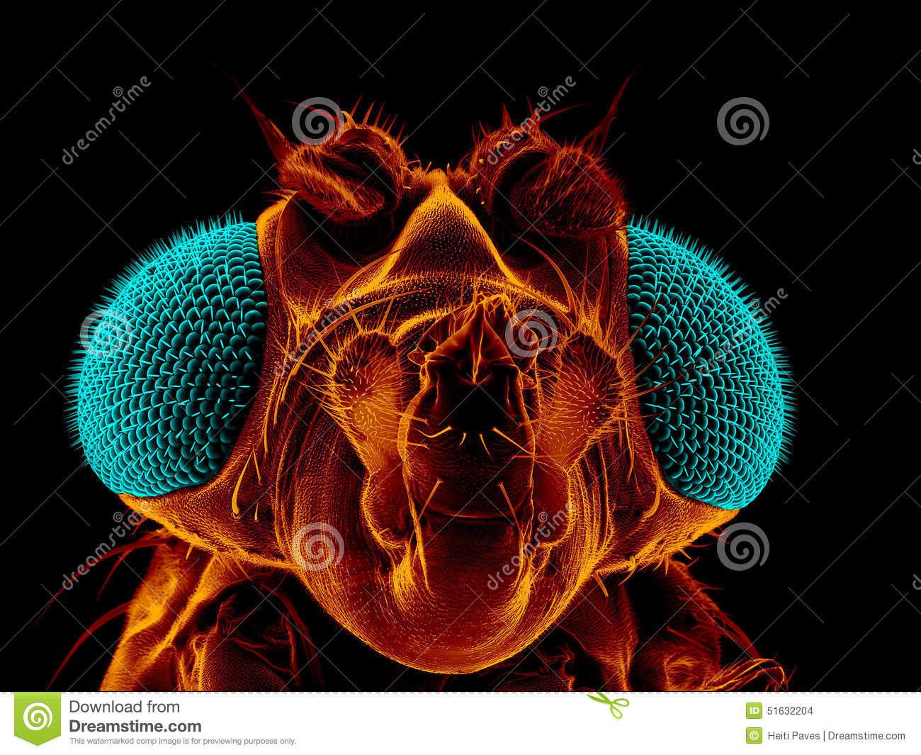 Fruit Fly Stock Photo Image Of Insect Science Coloured