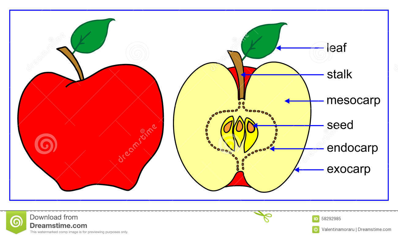 Fruit Parts Stock Vector Illustration Of Malus Image