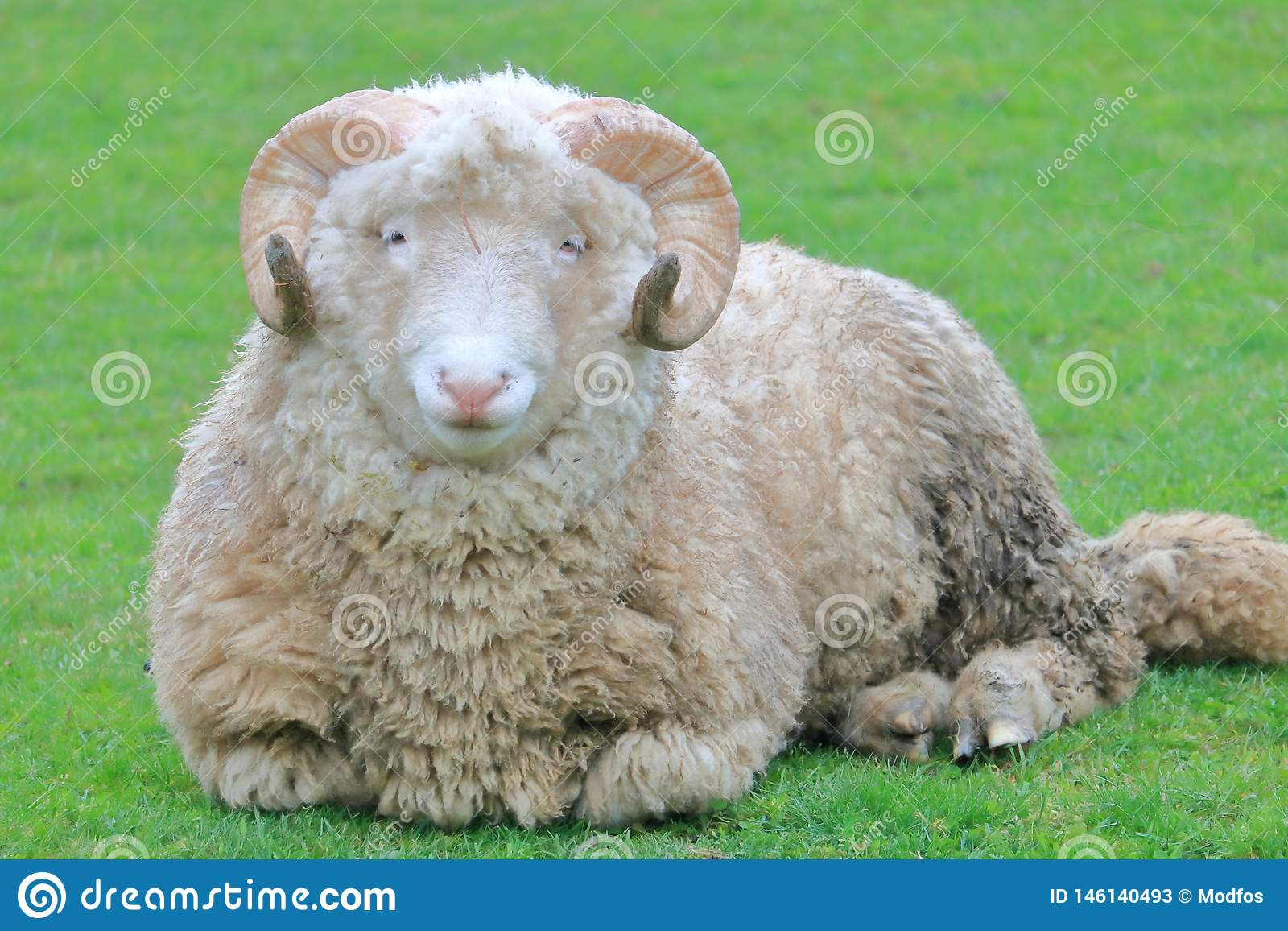 Full Front View Of A Sheep Stock Image Image Of Male