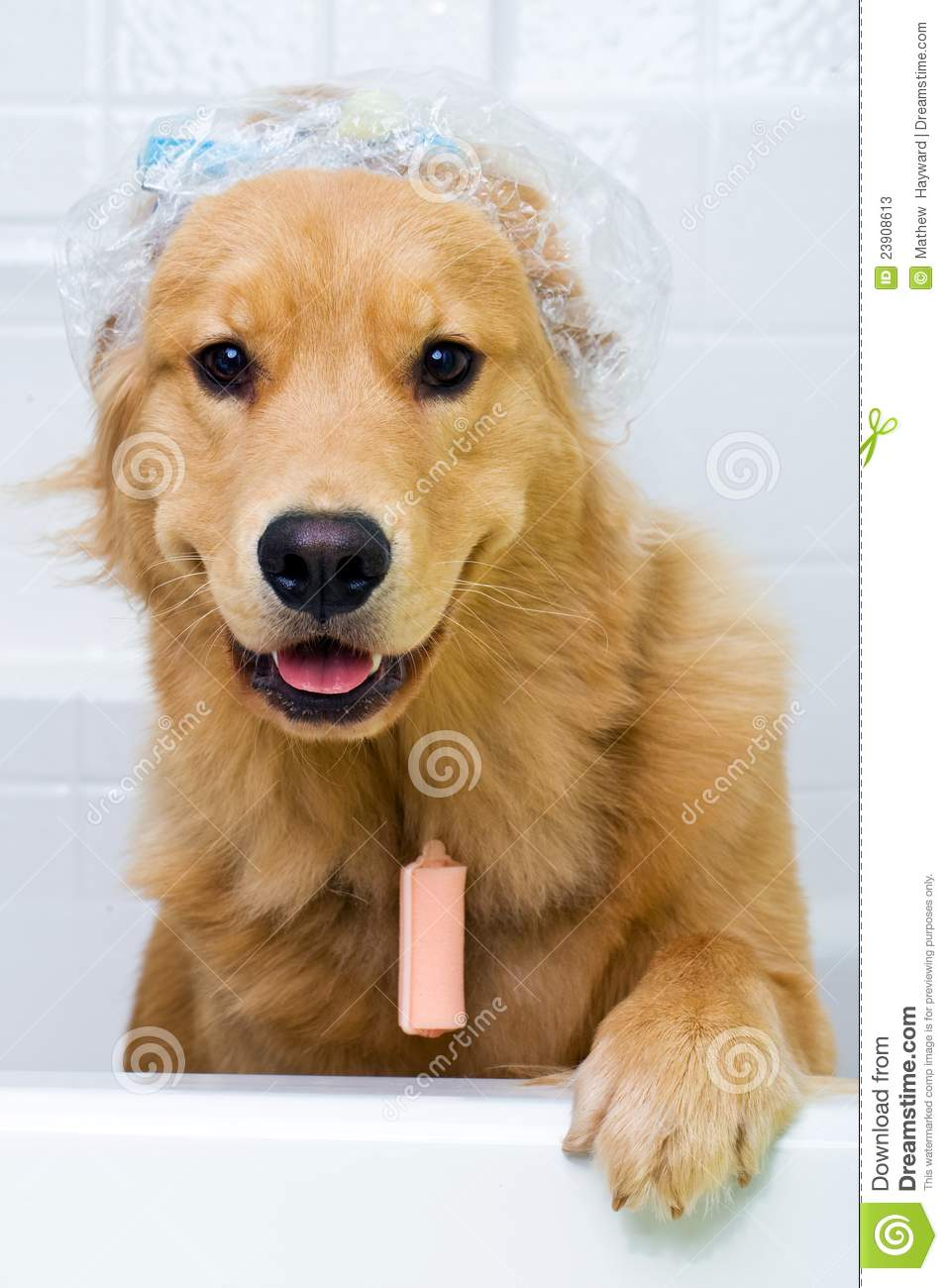 Funny Dog With Hair Curlers And A Shower Cap Stock Photos