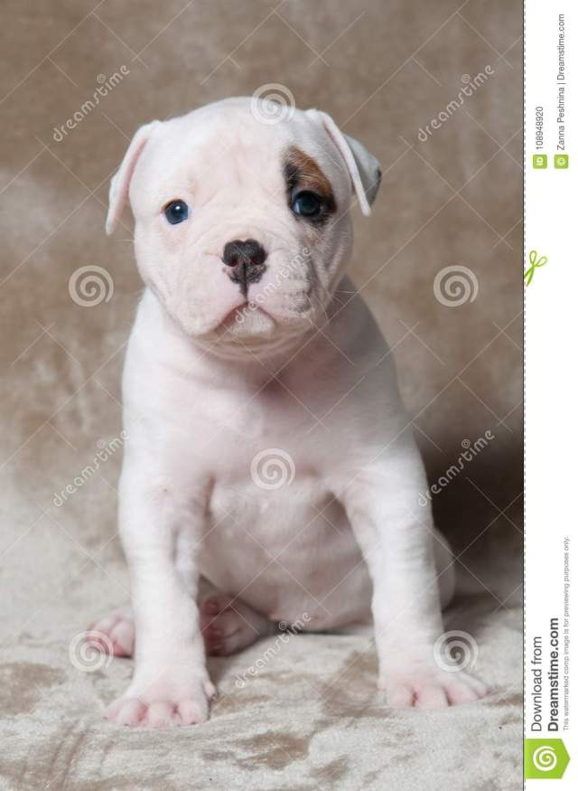 funny red white color american bulldog puppy on light