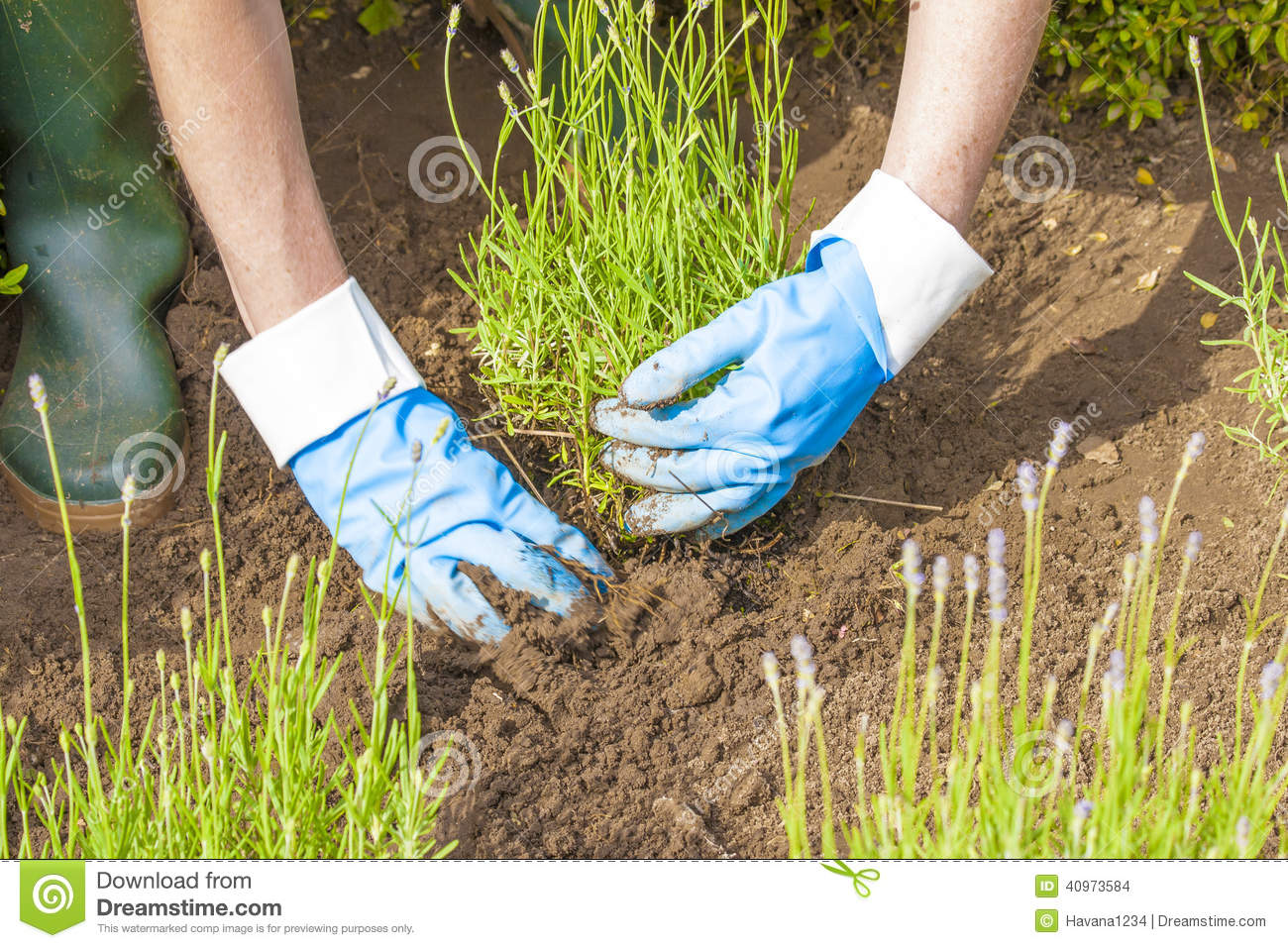 Gardening With Gloves And Boots In Lavender Garden Stock