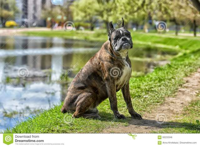 german boxer with cropped ears stock photo - image of