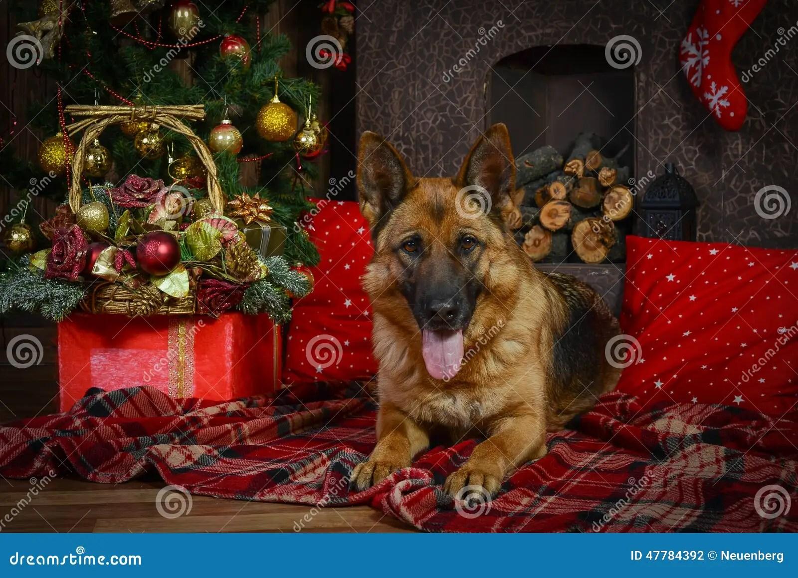 German Shepherd Dog For Christmas Stock Photo Image
