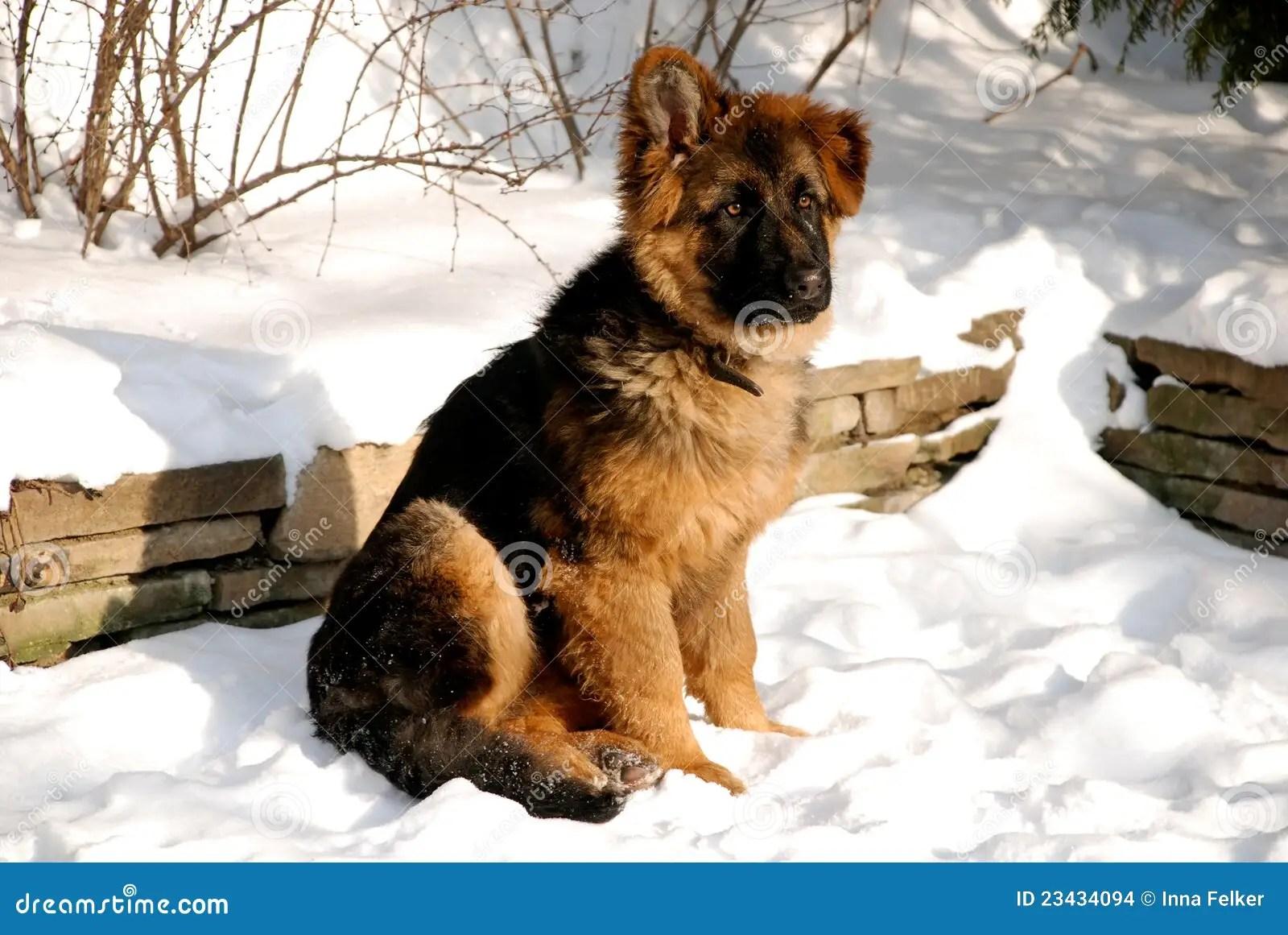 German Shepherd Puppy On The Snow Stock Photo Image