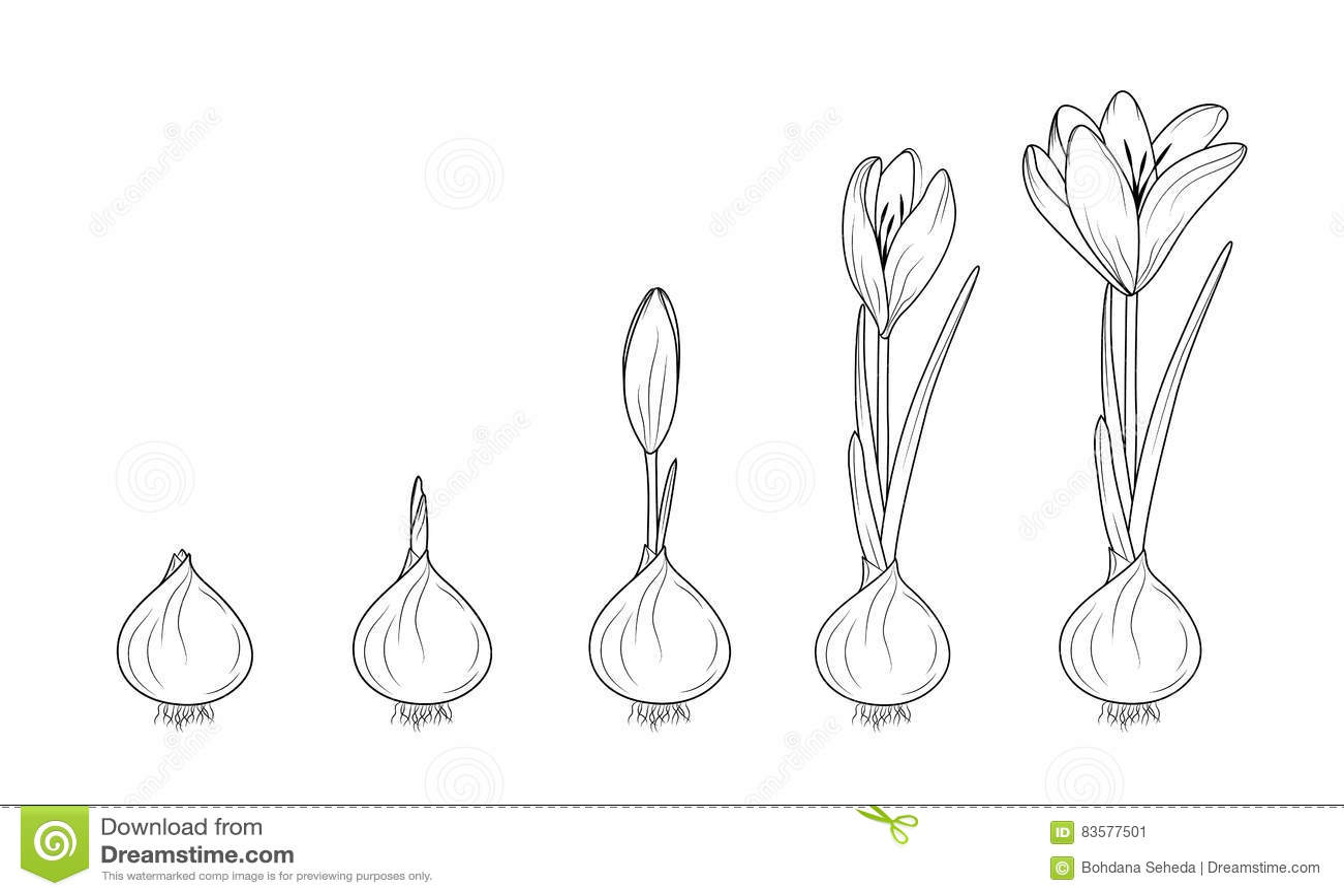 Germination D Usine Fleurissante De Crocus D Ampoule De