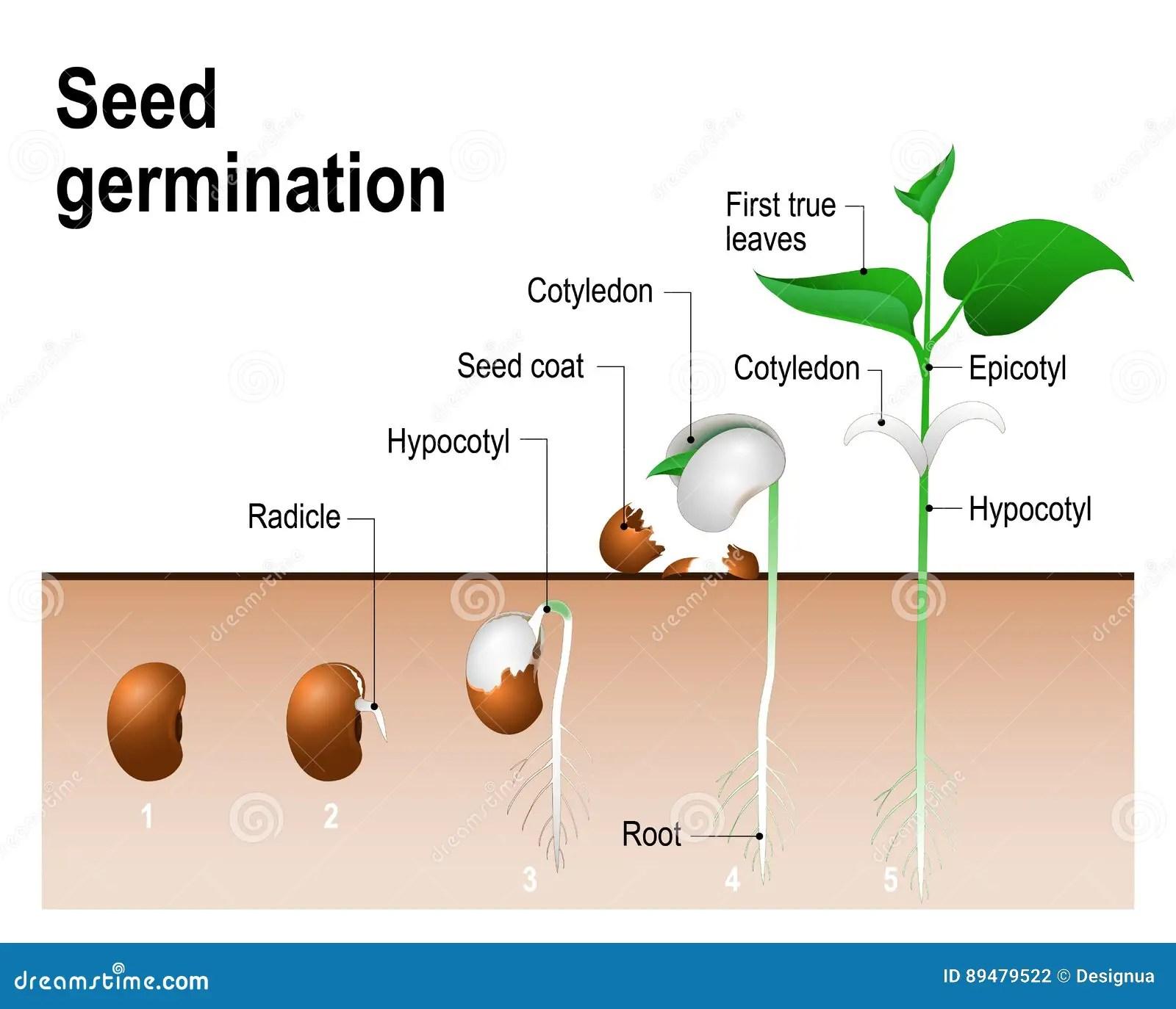 Germination De Graine Illustration De Vecteur