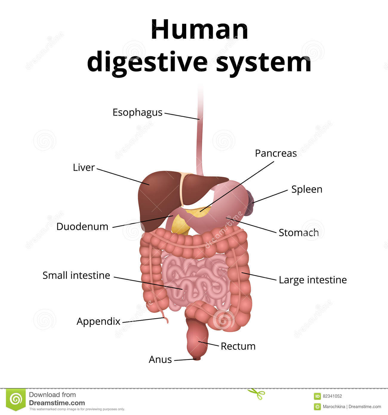 Digestive System Web Worksheet
